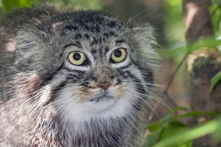 Portrait of a Pallass cat or manul  Felis manul