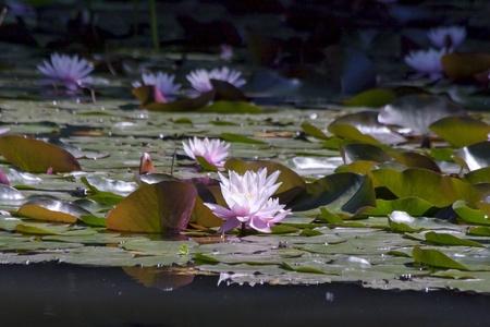 nucifera: Indian loto Nelumbo nucifera Foto de archivo