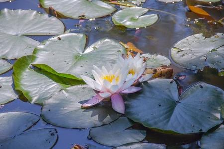 nelumbo: Indian lotus  Nelumbo nucifera