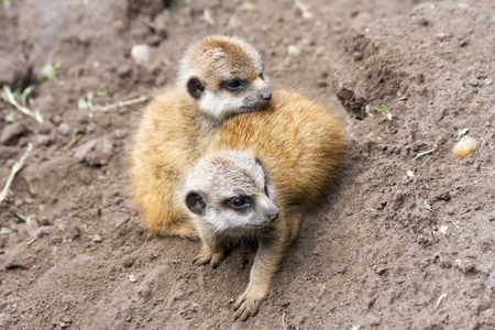 suricatta: Suricate or meerkat  Suricata suricatta  babies