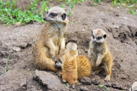 suricate: Suricate or meerkat  Suricata suricatta  babies