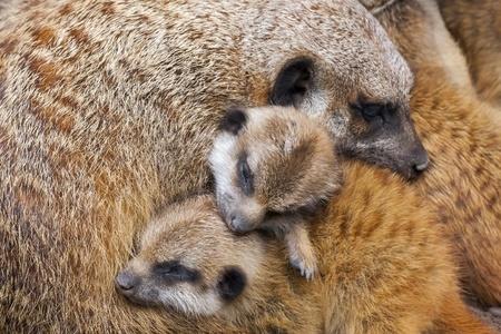 Suricate or meerkat  Suricata suricatta  babies