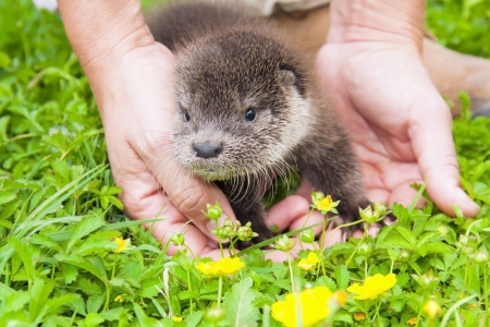 Orphaned Eurasian otter  Lutra lutra  baby in a wildlife rescue center Zdjęcie Seryjne