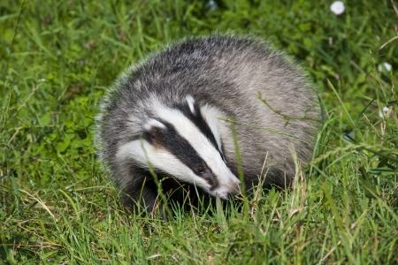 European badger  Meles meles  in the grass