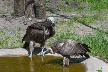 lappet: African vultures at a pond - Lappet-faced and white-backed vultures