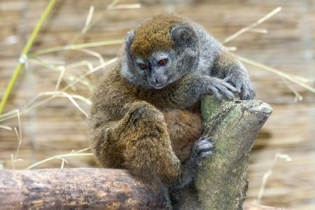 Lac Alaotra gentle lemur  Hapalemur alaotrensis  Stock Photo