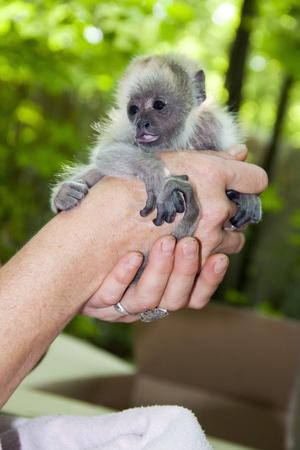 howler: Black howler monkey  Alouatta caraya  baby in hand Stock Photo