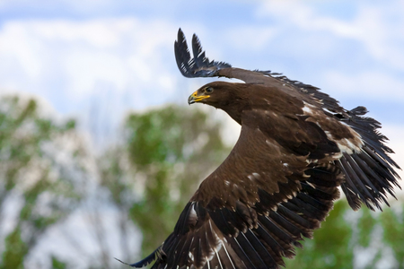 lesser: Lesser spotted eagle  Aquila pomarina  Stock Photo