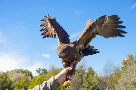 aquila: Releasing to wild a rescued lesser spotted eagle  Aquila pomarina
