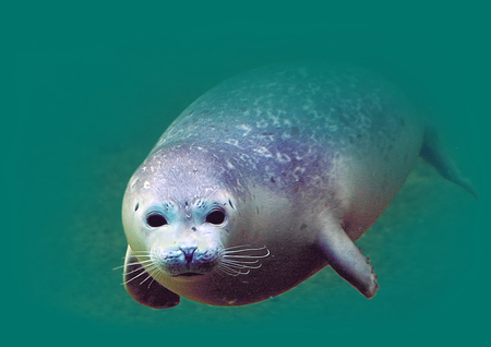 Young harbour seal  Phoca vitulina  in the water Stock Photo