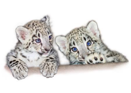Snow leopard  Uncia uncia  cubs