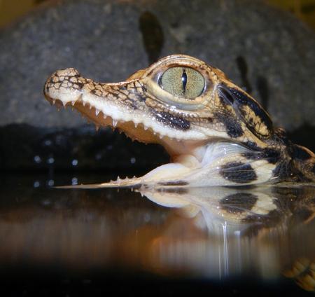 African dwarf crocodile  Osteolaemus tetraspis  baby photo