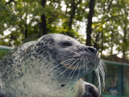 pinniped: Harbor seal  Phoca vitulina  in a zoo