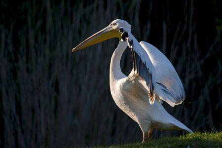 Great white pelican  Pelecanus onocrotalus  photo