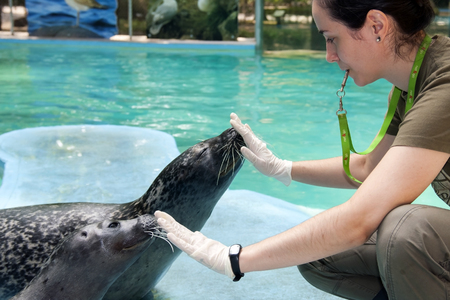 pinniped: SZEGED, HUNGARY - AUGUST 13  2013  - animal training in the exhibit of Harbor seals  Phoca vitulina  in Szeged Zoo