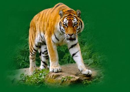 amur: Amur tiger  Panthera tigris altaica  Stock Photo