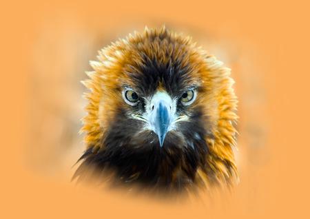 chrysaetos: Retrato de un �guila real Aquila chrysaetos