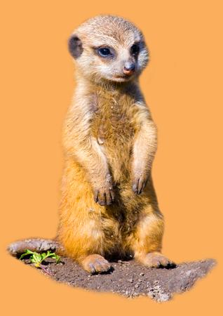 suricatta: Baby meerkat  Suricata suricatta  Stock Photo