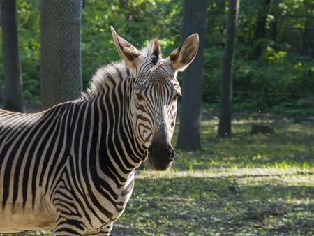 equid: Hartmann s mountain zebra  Equus zebra hartmannae