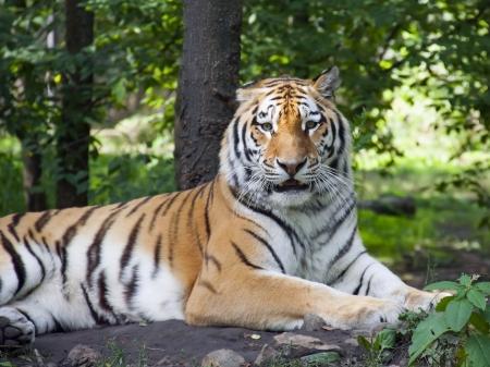 Siberian or amur tiger  Panthera tigris altaica  photo