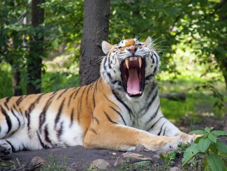 Siberian or amur tiger  Panthera tigris altaica  photo