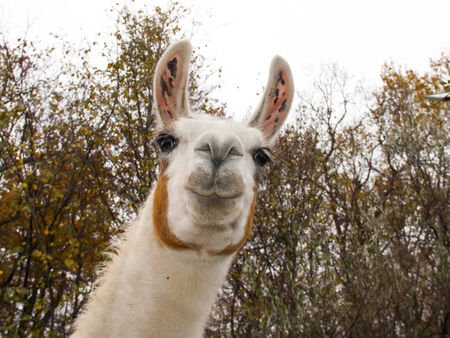 Adult male white Llama  Lama glama  portrait Stock Photo