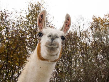Adult male white Llama  Lama glama  portrait Standard-Bild