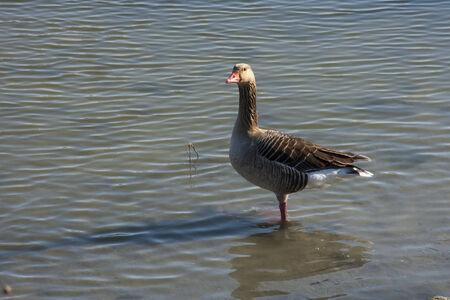 anser: Greylag goose  Anser anser  in winter Stock Photo