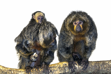 saki: White-faced saki  Pithecia pithecia  baby isolated
