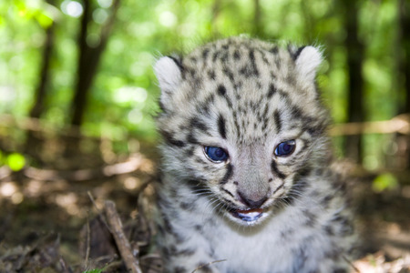 felid: Snow leopard  Uncia uncia or Panthera uncia  baby Stock Photo