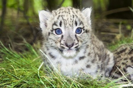 irbis: Snow leopard  Uncia uncia or Panthera uncia  baby Stock Photo