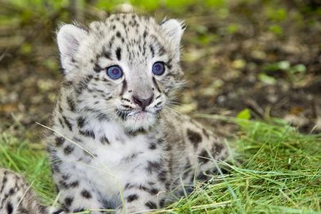 Snow leopard  Uncia uncia or Panthera uncia  baby Standard-Bild