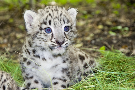 Snow leopard  Uncia uncia or Panthera uncia  baby Stock Photo