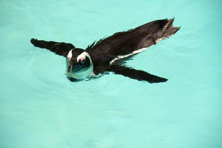 jackass: African penguin or Jackass penguin of black-footed penguin  Spheniscus demersus