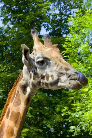 giraffa: Giraffe  Giraffa camelopardalis rotschildi