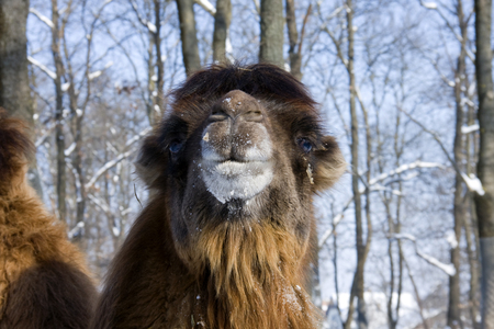 Portrait of a Bactrian camel  Camelus bactrianus  Stock Photo