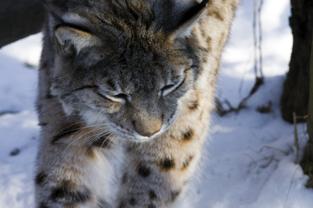 felid: Eurasian lynx  Lynx lynx  walking in the snow
