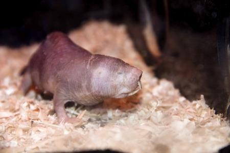 Naked mole rat  Heterocephalus glaber