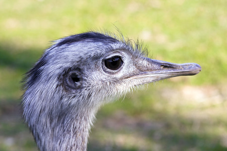 ratite: Greater rhea  Rhea americana