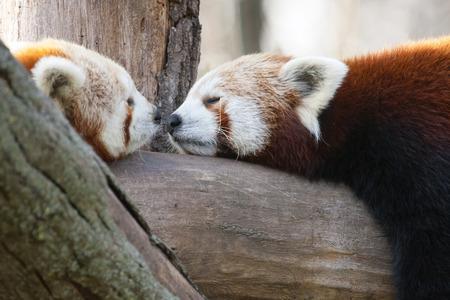 lesser: Red or lesser panda Stock Photo