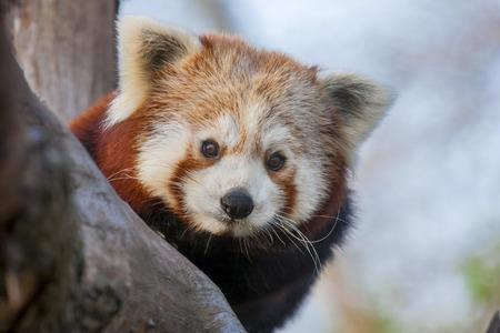 lesser: Red or lesser panda  Ailurus fulgens
