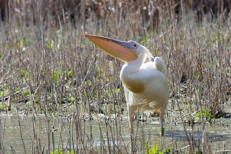 Great white pelican  Pelecanus onocrotalus  photo