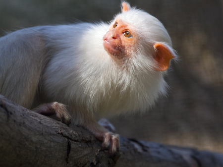 marmoset: Silvery marmoset  Mico argentatus or Callithrix argentata