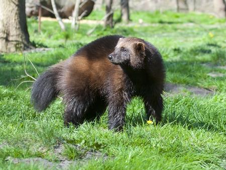 wolverine: Wolverine  Gulo gulo gulo  in spring Stock Photo