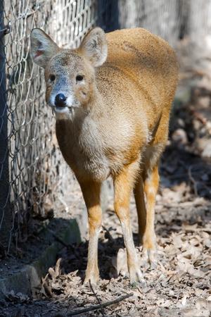 Chinese water deer  Hydropotes inermis inermis
