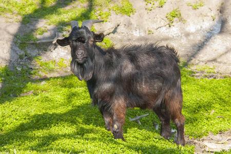 hircus: Black domestic goat  Capra hircus