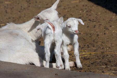 capra: White domestic goatling  Capra hircus