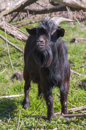 ungulates: Black domestic goat  Capra hircus