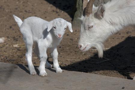 hircus: White domestic goatling  Capra hircus
