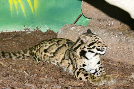 clouded leopard: Clouded leopard  Neofelis nebulosa  Stock Photo